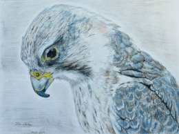 saker-falcon-drawing